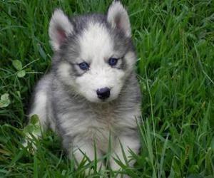 Foto siberian husky puppies