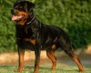Foto anjing rottweiler
