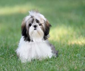 Foto anjing shih tzu