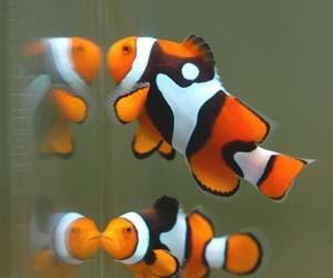 Foto aquarium ikan nemo