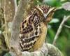 Foto burung hantu buffy fish owl