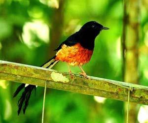 Foto burung murai batu