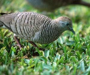 Foto burung perkutut dalam sangkar