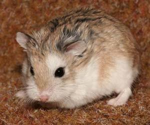 Foto hamster lucu