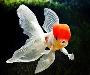 Foto ikan mas koki