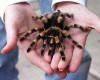 Foto tarantula
