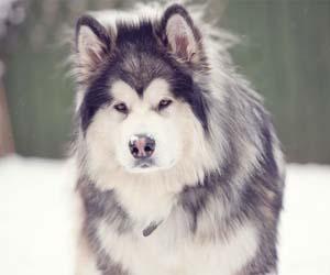 Gambar anjing alaskan malamute