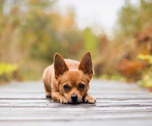 Gambar anjing chihuahua lucu
