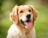 Gambar anjing golden retriever