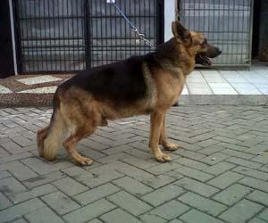 Gambar anjing herder
