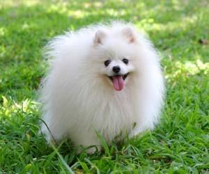 Gambar anjing pom