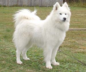 Gambar anjing samoyed dewasa