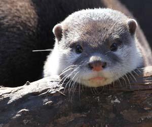 Gambar baby otter