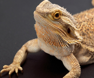 Gambar bearded dragon