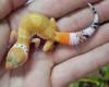 Gambar leopard gecko