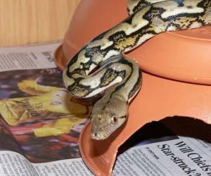 Gambar ular python reticulatus
