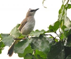 Burung trucukan garuda