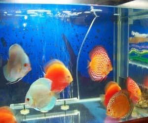 Foto akuarium ikan discus