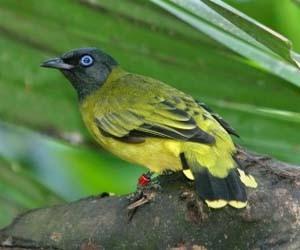 Foto burung kutilang emas