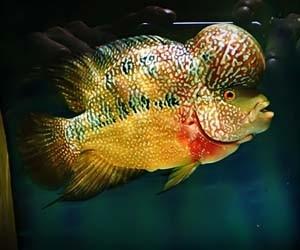 Gambar ikan louhan jenong