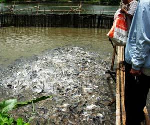 Gambar kolam ikan patin