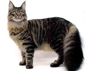 Gambar kucing maincoon
