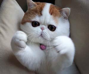 Kucing peaknose lucu