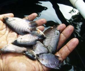 Tambak ikan gurame
