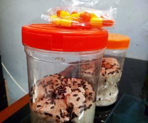 Toples semut jepang