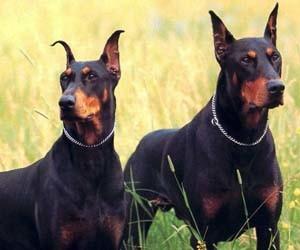 Gambar anjing doberman