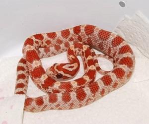 Gambar ular corn snake