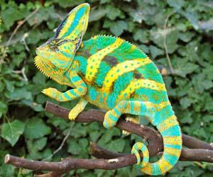 Foto chameleon langka