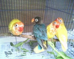 Foto lovebird bulu rontok