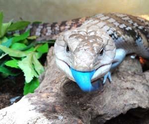 Gambar kadal lidah biru
