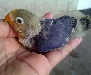 Piyik lovebird