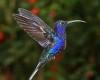 Gambar burung kolibri