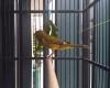 Burung kenari cabut bulu