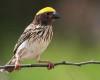Burung manyar bakalan