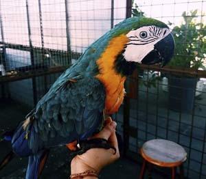 Foto burung macaw