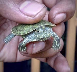 Gambar kura kura kecil