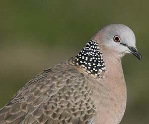 Kandang burung tekukur