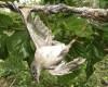 Pulut jebakan burung