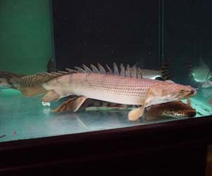 Foto ikan palmas